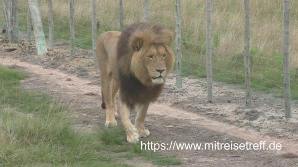 Mossel Bay / Südafrika, Botlierskop Wildreservat, Pirschfahrt mit offenen Geländewagen mit 1 Löwen im privaten Wildreservat