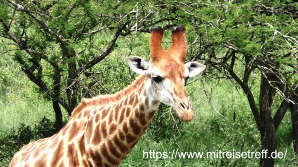 Eine Giraffe im Tala-Wildreservat