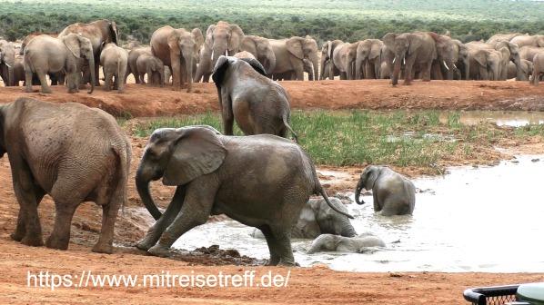 Badende Elefanten im Addo-Elefanten-Nationalpark