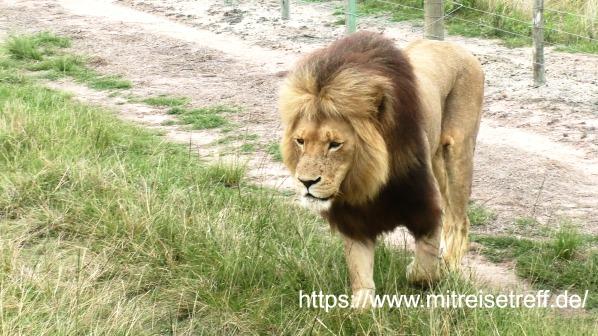 1 Löwe im Botlierskop Wildreservat