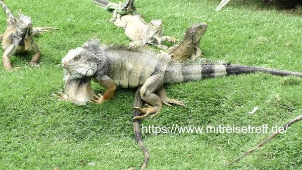 Land - Leguane im Park